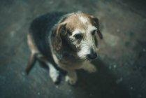 Vieux chien assis sur le plancher — Photo de stock
