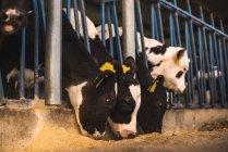 Terneros en corral en la granja - foto de stock