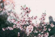 Рожевий квітучі мигдальне дерево — стокове фото
