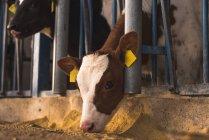 Bezerro, olhando para fora do curral na fazenda — Fotografia de Stock