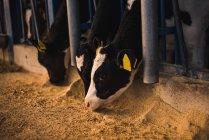 Телят в Коррале на ферме — стоковое фото