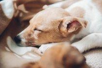 Cachorro durmiendo en casa - foto de stock