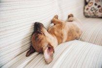 Маленький щенок спит на диване — стоковое фото