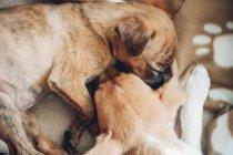 Милые щенки спят вместе спокойно — стоковое фото