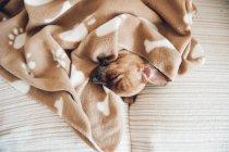 Cucciolo che dorme sotto la coperta marrone — Foto stock