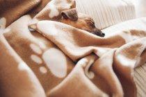 Щенок спит на диване — стоковое фото