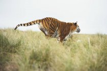 Tiger running in green grass in nature — Stock Photo