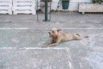 Hund mit Tennisball im Freien spielen — Stockfoto