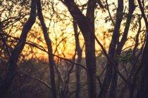Troncs minces de jeunes arbres au coucher du soleil — Photo de stock