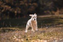 Neugierige Rasse Golden Retriever Welpe läuft im Park — Stockfoto