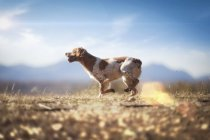 Small dog running in autumn meadow — Stock Photo