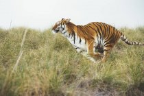 Striped tiger running in green grass in reserve — Stock Photo