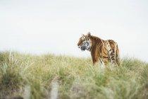 Tigre debout dans l'herbe verte dans la nature et regardant loin — Photo de stock