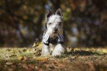 Маленькая собака бегает в осеннем парке — стоковое фото