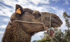 Mündung des Camel mit Seil vor blauem Himmel mit Wolken — Stockfoto