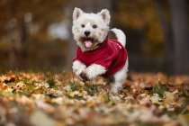 Small white dog running in autumn park — Stock Photo