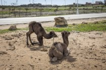 Camels on ground in countryside, Tanger, Morocco — Stock Photo