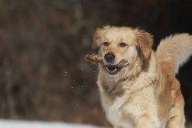 Golden Retriever spielt mit einem Stock im Schnee — Stockfoto