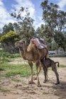 Верблюд, кормящий телят на свежем воздухе, Тангер, Моро — стоковое фото