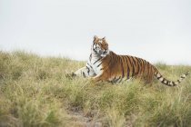 Tiger walking in green grass and looking away — Stock Photo