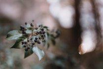 Planta pequeña con semillas oscuras - foto de stock