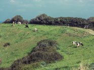 Cows grazing in field — Stock Photo