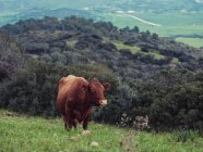 Brown vaca pastando en la colina - foto de stock