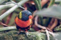 Primer plano de loro de color brillante posado en la roca en el zoológico . - foto de stock