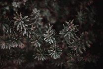Ramas con hojas diminutas - foto de stock