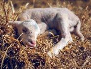 Sheep baby lying on hay — Stock Photo