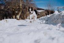 Cão correndo na estrada no inverno — Fotografia de Stock