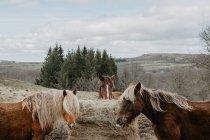 Лошади едят сено из рулона — стоковое фото