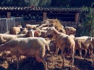 Pé de ovelhas no chão com feno — Fotografia de Stock