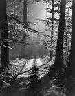 Blanco y negro misteriosa vista de bosque con árboles penetraron con rayos de sol, Bélgica. - foto de stock