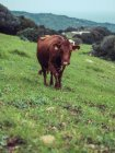 Cow pasturing on hill — Stock Photo