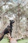 Gros chien brun debout sur le tronc dans la forêt et regardant loin — Photo de stock