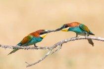 Abejaruco Europeo sentado en la rama de árbol y alimentación mate sobre fondo crema - foto de stock