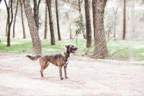 Gros chien brun debout dans la forêt avec la bouche ouverte — Photo de stock