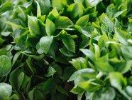 Primo piano di erbe verdi fresche heap al farmer market — Foto stock