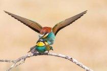 Два європейських bee-eaters сидить на гілці дерева та спаровування крем фону — стокове фото