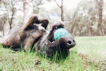 Большой коричневый собака радостно играя в лесу с мячом — стоковое фото