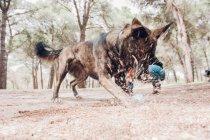 Большой коричневый собака с удовольствием играть в грязи в лесу с мячом — стоковое фото