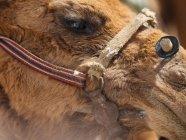 Gros plan de la tête de chameau brun en bride — Photo de stock