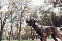 Grande cane marrone giocare in piedi nella foresta — Foto stock