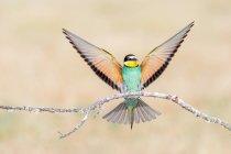 Яскраві птах, що сидять на гілці з поширенням крила — стокове фото