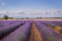Rows of blooming purple lavender flowers under blue sky in sunlight — Stock Photo