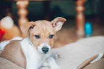 Прекрасные любопытно щенка, лежа на одеяло — стоковое фото