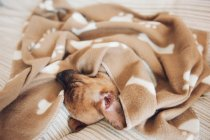 Щенок спит на диване под коричневым одеялом — стоковое фото