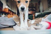 Welpe auf Decke zu Hause spielen — Stockfoto