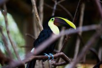 Multicolor toucan sitting on tree branch, Costa Rica, Central America — Stock Photo